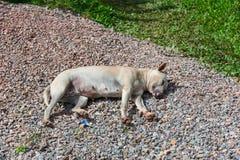 Sonno stanco bianco senza tetto del cane Immagine Stock Libera da Diritti