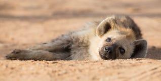 Sonno stanco dell'iena sulla strada non asfaltata nel primo mattino Fotografia Stock Libera da Diritti