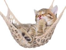 Sonno striato del gattino dei capelli di scarsità in amaca Fotografia Stock