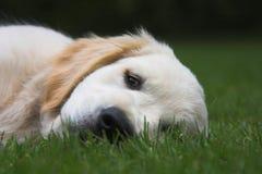 Sonno sveglio del cucciolo Fotografie Stock