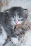Sonno sveglio del gattino Fotografia Stock