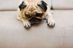 Sonno sveglio del sofà del cucciolo di cane del carlino Fotografie Stock Libere da Diritti