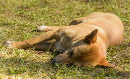Sonno tailandese del cane Immagine Stock
