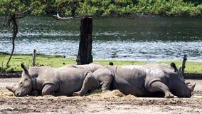 Sonno vasto-lipped africano di rinoceronte due immagini stock libere da diritti