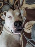 Sonny. Sleepy head dog Royalty Free Stock Photos