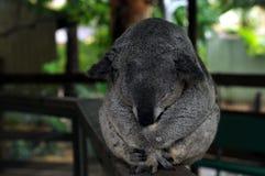 Sono adulto da coala Imagens de Stock