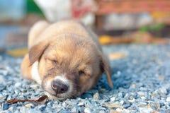 Sono bonito do filhote de cachorro Foto de Stock Royalty Free