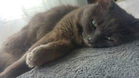 Sono bonito do gato Fotos de Stock Royalty Free