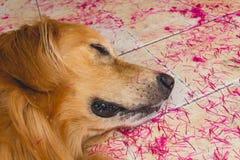 Sono bonito do golden retriever do cão na terra Fotografia de Stock