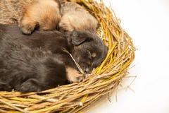 Sono bonito dos cachorrinhos na cesta Imagens de Stock