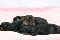 Sono bonito dos filhotes de cachorro do bebê   Imagem de Stock
