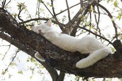 Sono branco do gato na árvore Imagem de Stock