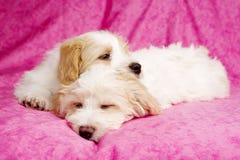 Sono colocado dois filhotes de cachorro em um fundo cor-de-rosa Foto de Stock Royalty Free
