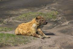 Sono da hiena Fotografia de Stock Royalty Free