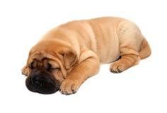 Sono do cão de filhote de cachorro do pei de Shar Foto de Stock
