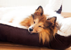 Sono do cão pastor de Shetland na cesta do cão Fotografia de Stock