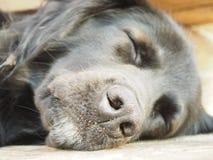 Sono do cão preto no assoalho Feche acima da face Imagem de Stock Royalty Free