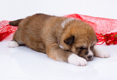 Sono do cachorrinho de Akita-inu do japonês sobre o branco Fotos de Stock