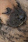 Sono do cachorrinho de great dane Imagens de Stock Royalty Free