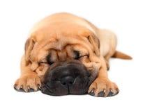 Sono do cão de filhote de cachorro do pei de Shar Fotografia de Stock