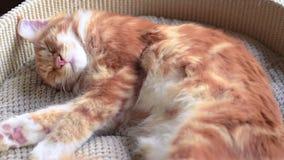 Sono do gatinho de Maine Coon video estoque