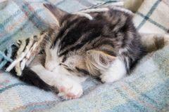 Sono do gatinho do gato malhado envolvido na cobertura de lãs Foto de Stock