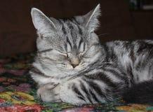 Sono do gato de gato malhado Foto de Stock Royalty Free