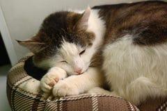 Sono do gato de Tom na foto do close-up da cama do animal de estimação Imagem de Stock