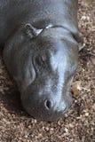 Sono do hipopótamo Fotografia de Stock