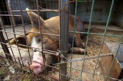 Sono do porco Imagens de Stock