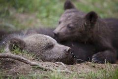 Sono do retrato dos irmãos do urso fotos de stock
