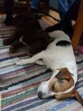 Sono dos cachorrinhos de Adoravle Imagens de Stock Royalty Free