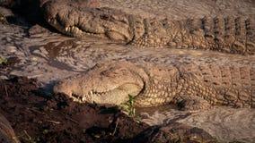 Sono dos crocodilos video estoque