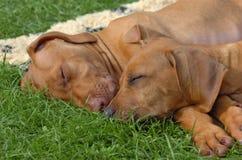 Sono dos filhotes de cachorro do ridgeback de Rhodesian Fotografia de Stock Royalty Free