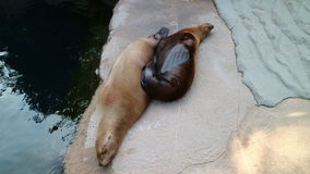 Sono dos leões-marinhos Foto de Stock Royalty Free