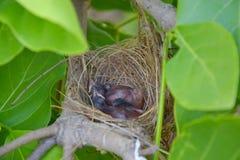 Sono dos pássaros de bebê no ninho Foto de Stock Royalty Free