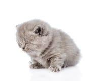 sono escocês recém-nascido do gatinho Isolado no fundo branco Imagens de Stock Royalty Free