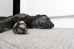 Sono Labrador fotografia de stock