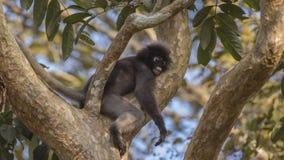 Sono obscuro do macaco da folha fotografia de stock royalty free