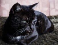 Sono preto com o gato branco do ponto que encontra-se no sofá imagem de stock