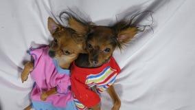 Sono recém-nascido dos puppys Cães pequenos adultos Toy Terriers nos pijamas imagem de stock