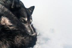 Sono ronco na neve Fotografia de Stock