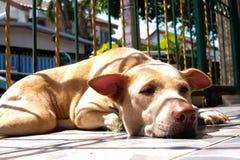 Sono tailandês do cão Imagens de Stock Royalty Free