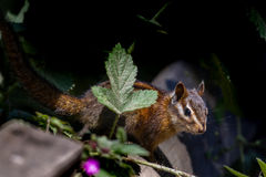 Sonoma chipmunk (Tamias sonomae). In the Muir Woods National Monument near San Francisco, California, USA Royalty Free Stock Photography