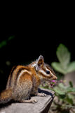 Sonoma chipmunk Tamias sonomae. In the Muir Woods National Monument near San Francisco, California, USA Royalty Free Stock Photos