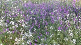 Sonoma County CA USA White Mustard and Vetch. This is a photo of wild flowers white mustard and catch in Sonoma Valley CA in USA stock photo