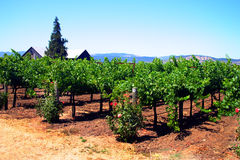 Sonoma and Napa Valley, California. Vineyard at Sonoma and Napa Valley, California Royalty Free Stock Photo