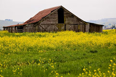 Sonoma Valley Barn. A pole barn in the Sonoma Valley of California, with yellow mustard in bloom Royalty Free Stock Photography
