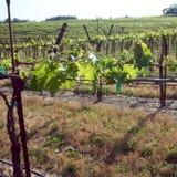 Sonoma Valley Vineyards Stock Image