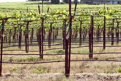 Sonoma Valley Vineyards  Stock Images